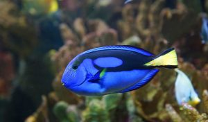 The average lifespan of common aquarium fish varies widely.