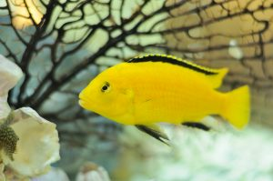 The average lifespan of common aquarium fish varies widely. The yellow cichlid, for example, can life up to about 10 years.
