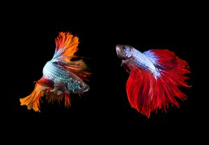 Fun Facts about Fish and Aquarium Living: Siamese fighting fish were likely bred for aggression prior to the 19th century.