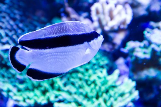 The most expensive aquarium fish include the black-masked ange