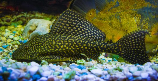 Plecos are among the largest and strongest of the popular bottom feeders for an aquarium.