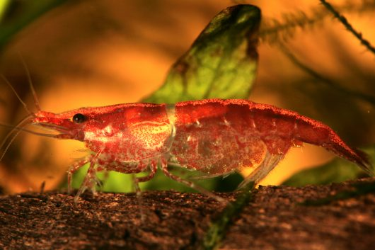 Red Cherry Shrimp are one of the top bottom dwellers for a fish tank.