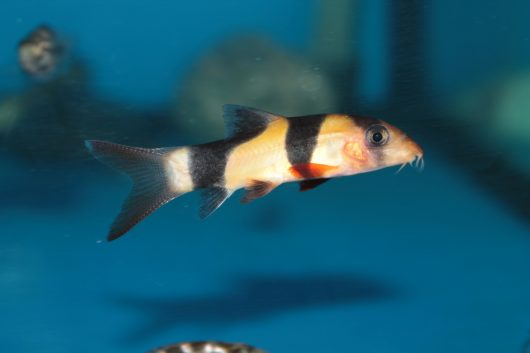A clown loach is among the top bottom feeders for an aquarium.