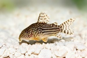 Remember to include gravel and bottom feeders, such as this Cory Catfish, in your saltwater reef fish tank.