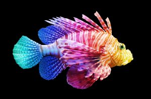 Have you ever wondered why fish are so colorful, like this lionfish is?