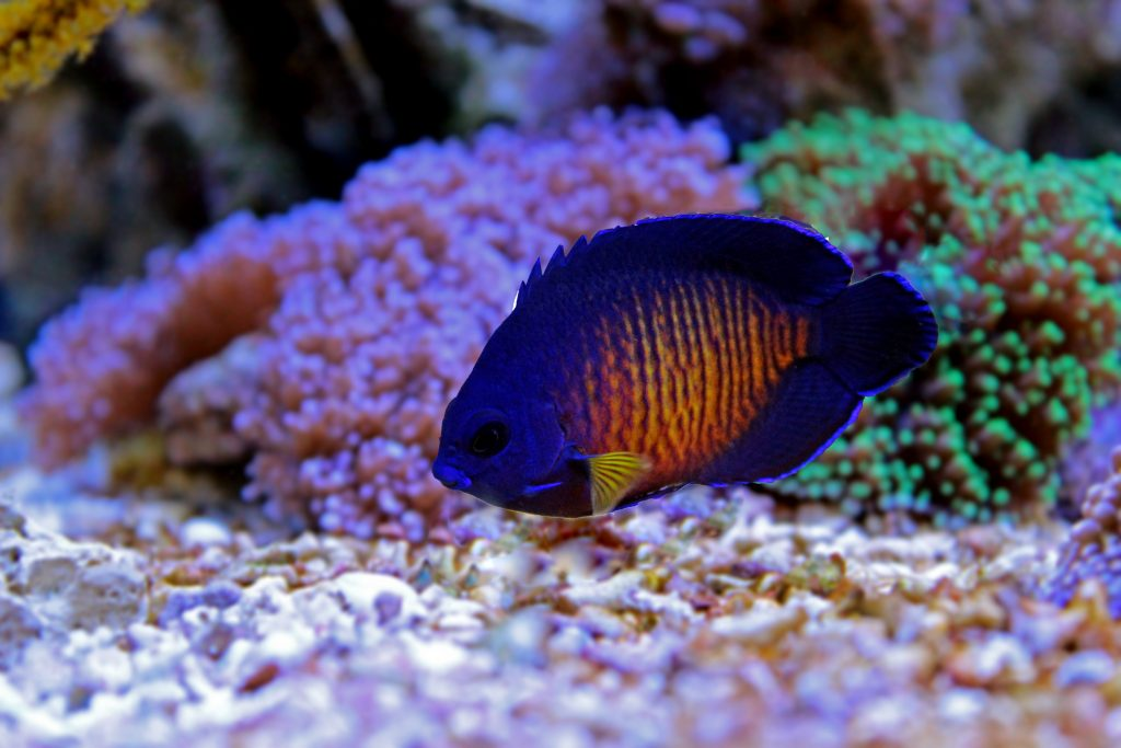 The Coral Beauty Angelfish is one of the most popular fish for saltwater aquariums.