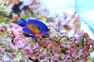 The Coral Beauty Angelfish is also known as a Two-Spined Angelfish or Dusky Angelfish. Its scientific name is Centropyge bispinosus. It is one of the most popular saltwater fish for saltwater aquariums.