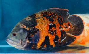 If you are considering obtaining one for a freshwater aquarium, there are a few oscar fish facts you should know, such as the fact that it's one of the smartest freshwater fish around.