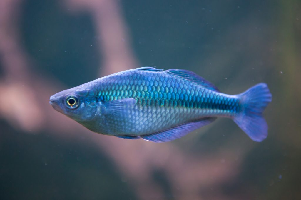 One of the interesting rainbowfish facts is that they look different depending on how the light hits them.