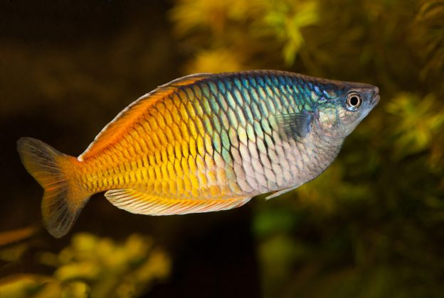 One of the interesting rainbowfish facts is that the Melanotaenia are the largest of them, but these freshwater fish only grow to about 8 inches at the most.