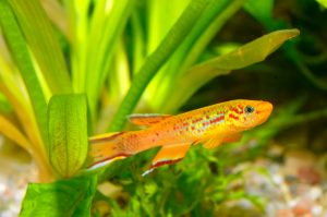 Some interesting killifish facts include the fact that there are more than 1,000 species of killifish, as well as the fact that annual killifish only live for up to 9 months.