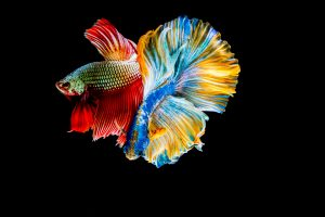 Betta fish, frequently identified by the name Siamese Fighting Fish or Japanese Fighting Fish, have characteristic fins and are available in many colors.