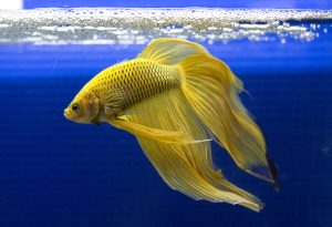The Siamese Fighting Fish is very aggressive, so it often needs its own fish tank.
