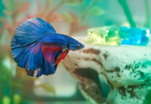 There are 70 different species of betta fish.