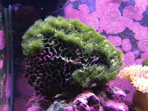 Natural ways to control algae growth in a fish tank is to regularly clean the live rock, gravel, and plants.