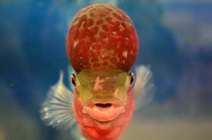 The cherry-like lump on the head of a flowerhorn fish is called a nuchal hump, or kok.
