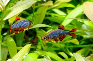 The Celestial Pearl Danio is a common freshwater fish.