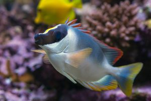 One factor that can help you decide between a freshwater aquarium or saltwater aquarium is how colorful the fish are. This powder blue tang saltwater fish is shown in a reef aquarium.