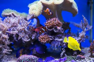 Yellow tang and clownfish are in a fish tank. Choosing a freshwater aquarium or saltwater aquarium is a tough choice.