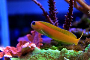 A Midas Blenny is shown in a saltwater reef. As an algae eater, various types of blennies can help you get rid of bubble algae in your aquarium.