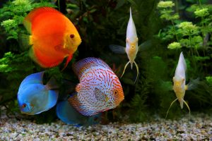 Facts about Discus Fish: Their bodies are flat and round like a discus, and they have distinctive markings on their bodies. Known as the King of the Aquarium, this freshwater fish gets brighter when it senses threat.