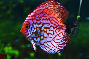 Discus fish facts: Discus fish are cichlids.  Common colors are red and blue. Known as the King of the Aquarium, this freshwater fish has distinctive marks on its body, which is flat and round like a discus.