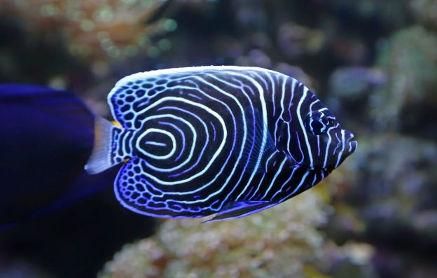 Angelfish are among the more versatile aquarium fish.