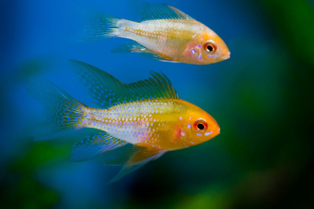 The differences between freshwater fish and saltwater fish include the idea that freshwater fish are more resilient.