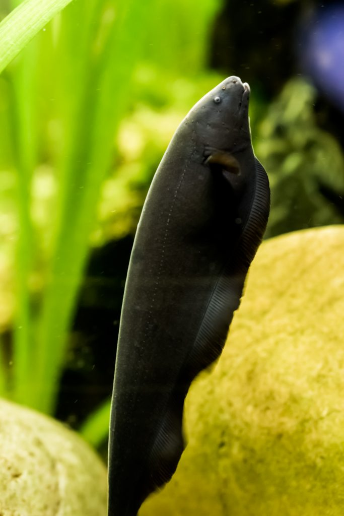 A black ghost knifefish has no scales and can grow to almost 2 feet long.