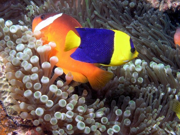 The best types of fish food to select depend on the types of fish you have. Angelfish, shown here, are mainly carnivores.