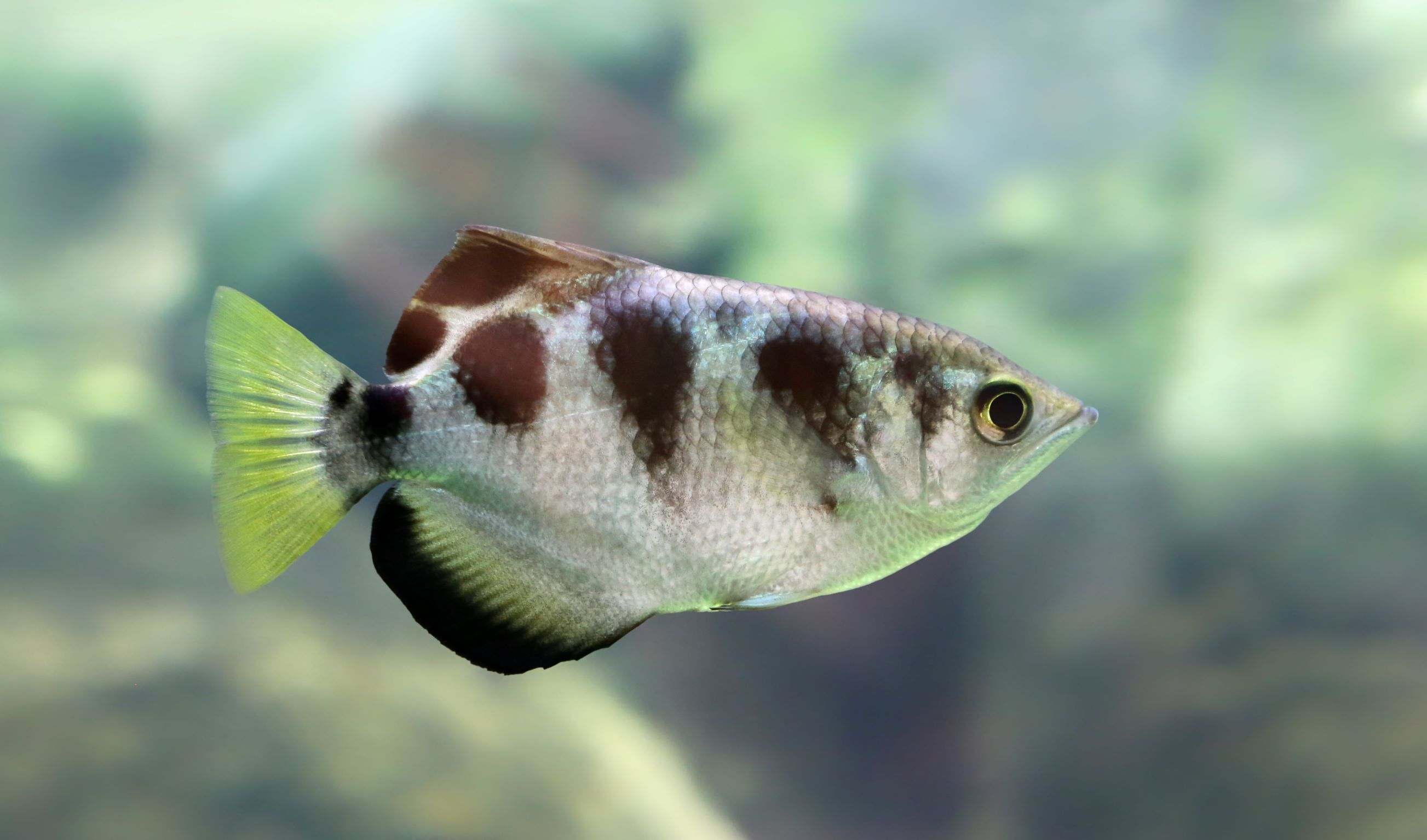 The banded archer fish is one of the most common brackish fish for home aquariums.