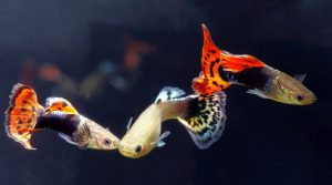 Guppies are popular for freshwater nano aquariums.
