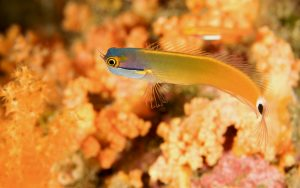 A tailspot blenny is ideal for a saltwater reef nano tank.