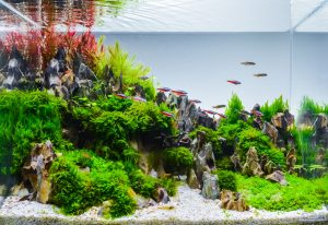 Live aquarium plants add a natural element to freshwater fish tanks and saltwater fish tanks.