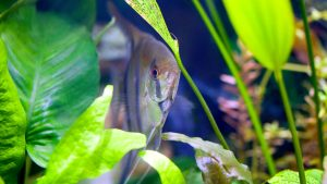 An angelfish hides among anubis, Amazon swords and a java fern in a planted tropical aquarium. Live aquarium plants beautify saltwater and freshwater fish tanks.