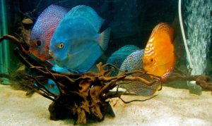 Several discus fish of varying colors are in an aquarium.