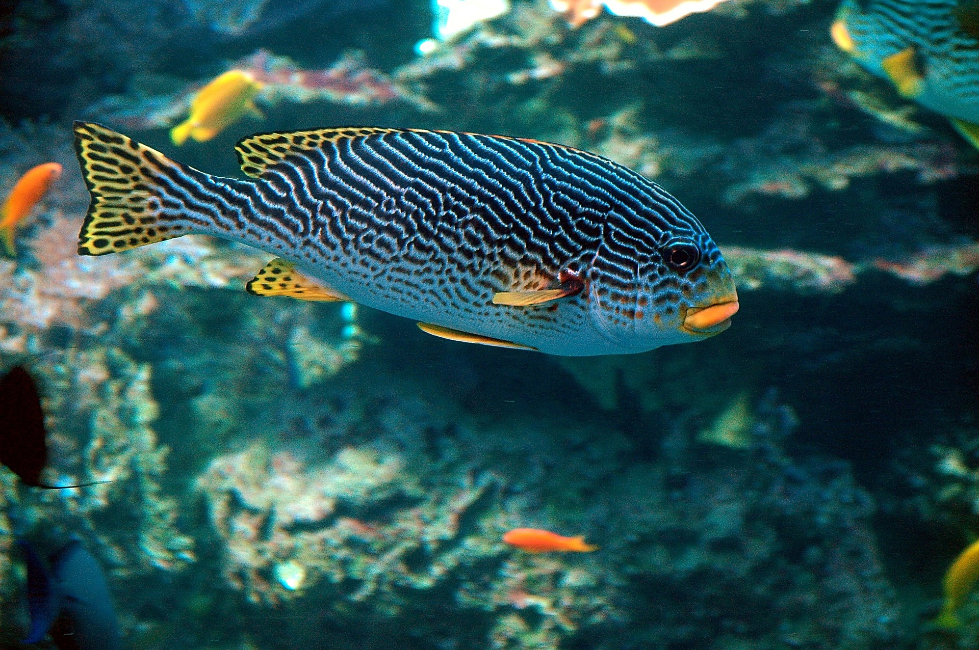 The calming effects of aquariums are more substantial when the fish are colorful and plentiful. This image features a tropical fish with several other species of in the background.