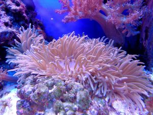Stimulating growth of coral in a reef tank requires several steps.