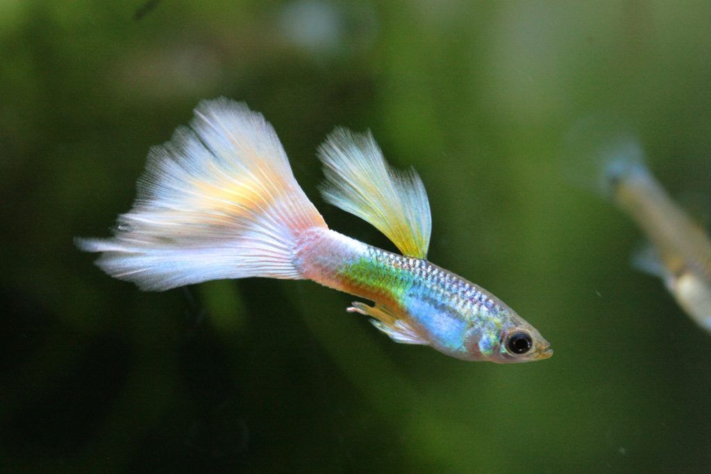 Guppies are ideal for nano tanks.
