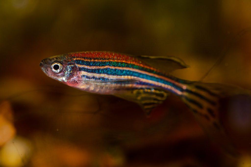 Zebra danios and celestial pearl danios are popular nano tank fish.