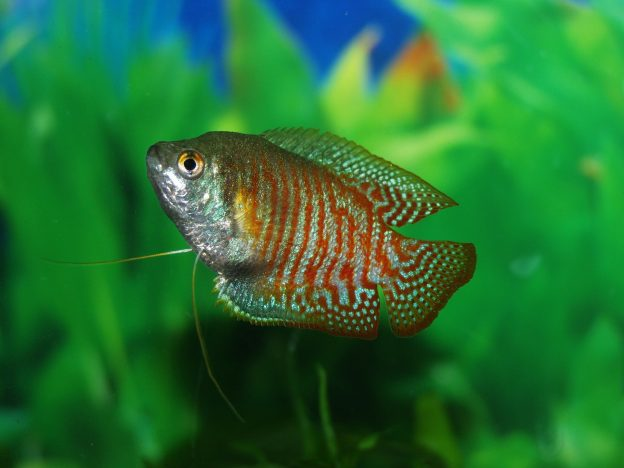 Sparkling gourami fish, shown here, are among the most popular nano tank fish.
